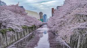 なかめ公園橋からの目黒川の桜